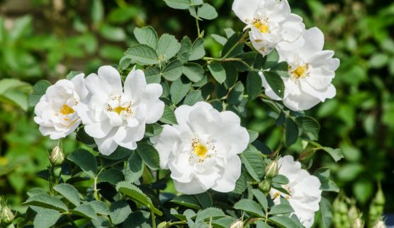 Rosa-alba-semi-plena-Types-of-Roses-Hedgerow-Rose (1)