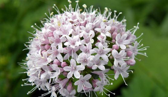 beneficios-da-valeriana