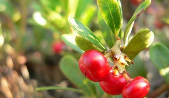 uva-ursi-beneficios-e-propriedades-dessa-planta-e-seu-cha